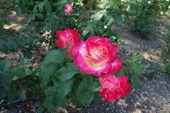 De heldere roze en witte bloemen van namen toe Royalty-vrije Stock Afbeelding