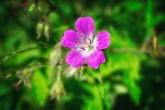 De heldere roze Geranium van de zomerbloemen pratense op een vage achtergrond stock foto