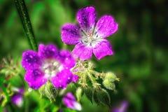De heldere roze Geranium van de zomerbloemen pratense op een vage achtergrond royalty-vrije stock foto