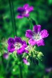De heldere roze Geranium van de zomerbloemen pratense op een vage achtergrond stock afbeelding