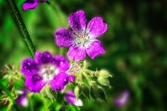 De heldere roze Geranium van de zomerbloemen pratense op een vage achtergrond stock fotografie