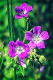 De heldere roze Geranium van de zomerbloemen pratense op een vage achtergrond royalty-vrije stock afbeelding