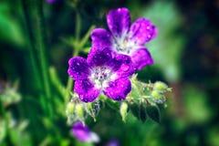 De heldere roze Geranium van de zomerbloemen pratense op een vage achtergrond royalty-vrije stock afbeeldingen