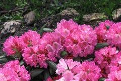 De heldere roze tropische bloemen sluiten omhoog op achtergrond van gras en stenen stock afbeeldingen