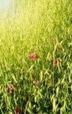 De heldere stralen van de zomerzon vallen op rijpende oren op gebied die op gebied rijpen en oren van haver die in wind fladderen Stock Foto's