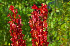 De heldere takken van de de herfstesdoorn Stock Foto's