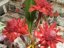De heldere tropische oranje toortsgember bloeit Etlingera-elatior in een vaas met een calicokat stock afbeelding