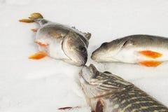 De heldere de vissensnoeken en toppositie met oranje vinnen liggen op de sneeuw royalty-vrije stock fotografie