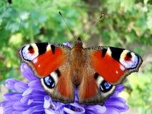 De heldere zitting van Inachis io op blauwe bloem Royalty-vrije Stock Foto
