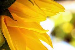 De heldere zonnebloembloemblaadjes sluiten omhoog met een lichte achtergrond Royalty-vrije Stock Foto