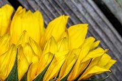 De heldere zonnebloemen sluiten omhoog op een houten achtergrond Stock Afbeelding