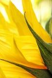 De heldere zonnebloemen sluiten omhoog op een lichte achtergrond Stock Afbeeldingen