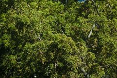 De heldergroene altijdgroene boombladeren vertakt zich volledige kaderachtergrond stock afbeelding