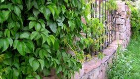 De heldergroene bladeren van decoratieve klimop met dauwdalingen strengelen de omheining ineen royalty-vrije stock foto