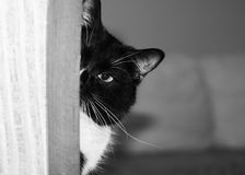 De helft van snuit van zwart-witte kat gluurt uit de hoek en bekijkt camera Royalty-vrije Stock Foto's