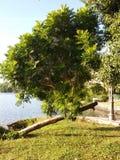 De hellende de boomboomstammen van het meer, blad stock foto's