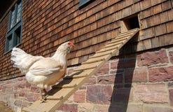 De helling van de kip Stock Foto's