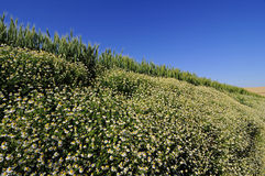 De helling van het gerstgebied met wilde chrysantenbloemen Royalty-vrije Stock Foto's