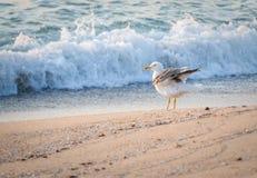 De hemel overzees van de meeuwvlieg schommelings leeg strand, Royalty-vrije Stock Fotografie