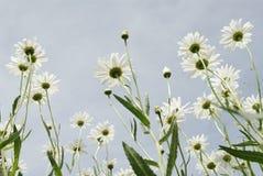 De hemel van Daisy Royalty-vrije Stock Foto's