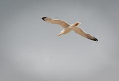 De hemel van de meeuwvlieg Royalty-vrije Stock Foto's