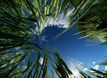 De hemel van de tarwe Royalty-vrije Stock Foto
