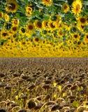 De hemel van de zonnebloem royalty-vrije stock afbeeldingen