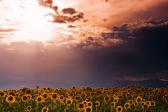 De Hemel van de zonnebloem Stock Afbeelding