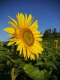 De hemel van de zonnebloem buiten Royalty-vrije Stock Foto
