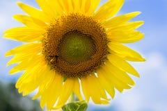 De hemel van de zonnebloem buiten Royalty-vrije Stock Afbeeldingen