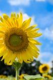 De hemel van de zonnebloem buiten Royalty-vrije Stock Fotografie