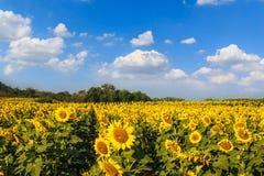 De hemelachtergrond van het zonnebloemengebied Royalty-vrije Stock Fotografie
