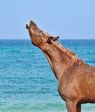 De hengst snuift de lucht op het strand met zijn omhoog hoofd Royalty-vrije Stock Fotografie