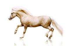 De hengst van de poney Stock Foto's