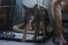 De herder German komt uit de cel met een stuk speelgoed in zijn mond Stock Fotografie