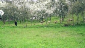 De herder houdt de schapen stock video