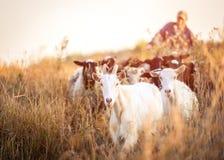 De herder leidt de geiten royalty-vrije stock fotografie