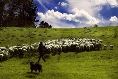 De herder loopt langs de zonnige weide met zijn hond en kudde van schapen Stock Foto