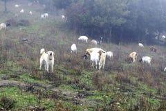 De Herdershond stock foto