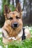 De herdershond die van Duitsland in tuin legt Royalty-vrije Stock Foto