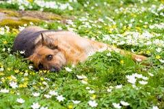 De herdershond die van Duitsland in tuin legt royalty-vrije stock afbeelding