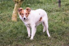 De Herdershond die van Shetland in België leven royalty-vrije stock afbeeldingen
