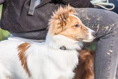 De Herdershond die van Shetland in België leven royalty-vrije stock foto