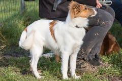 De Herdershond die van Shetland in België leven stock foto