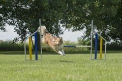 De herdershond die van Shetland van het juming over een behendigheidshindernis genieten openlucht stock foto's