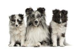 De Herdershond die van Shetland met haar puppy liggen stock foto's