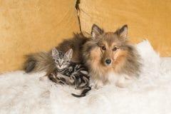 De herdershond die van Shetland op een laag samen met een gestreepte katkatje liggen allebei die de camera bekijken stock fotografie