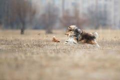 De herdershond die van Shetland schijf vangen royalty-vrije stock foto