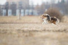 De herdershond die van Shetland schijf vangen royalty-vrije stock afbeelding