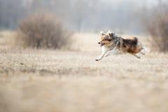 De herdershond die van Shetland schijf vangen royalty-vrije stock afbeeldingen